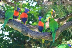 rainbow-lorikeets